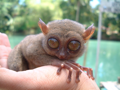 bohol tarsier the world smallest monkey