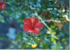 Camiguin flora gumamela