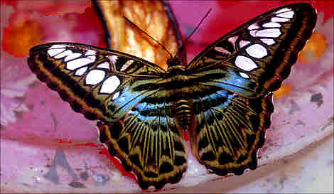 Puerto Princes Butterfly